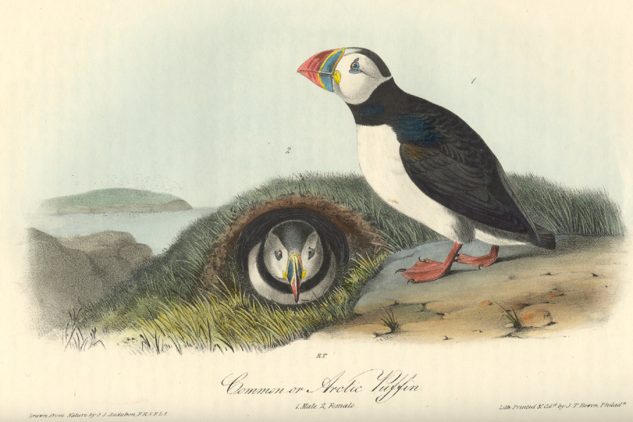 Puffins in Audubon book