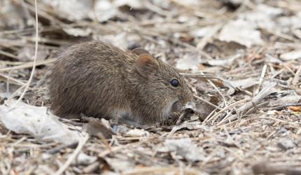 Hispin cotton rat