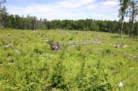 This image shows rapid re-establishment of a young forest with vigorous regrowth after being recently cleared by a commercial harvest. Courtesy Christopher A. Williams.