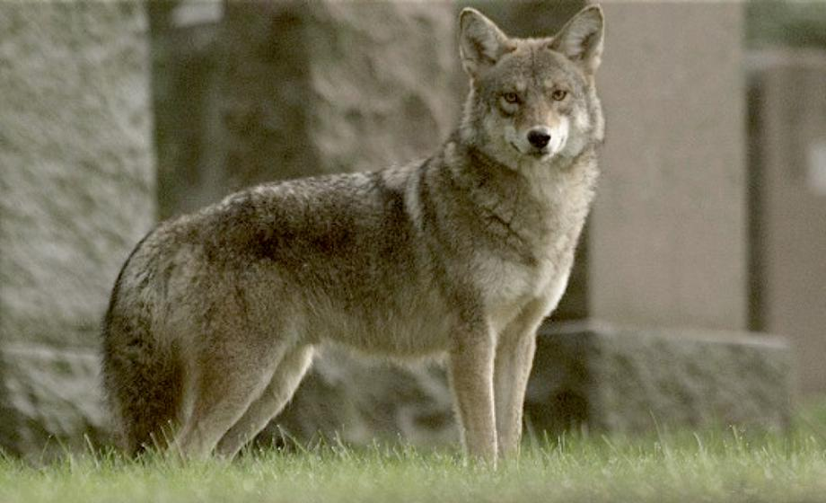 coywolf-north-america-7-continents-1-summer