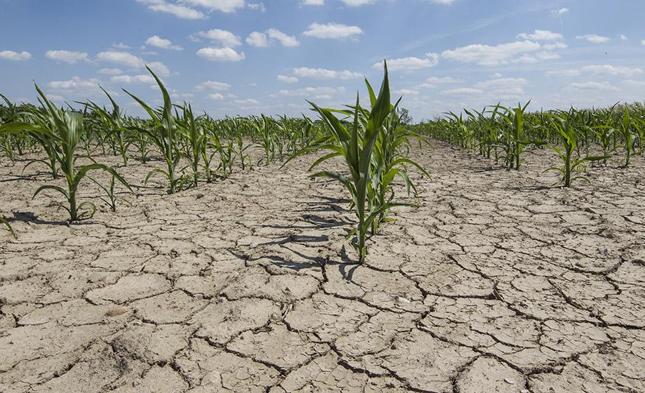 Corn dying in a field because of parched earth from drought