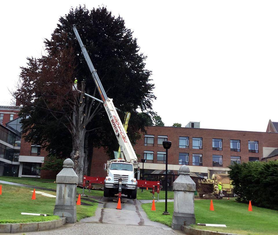 beech tree removal