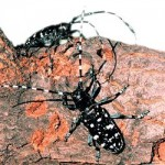 The Asian Long-horned Beetle