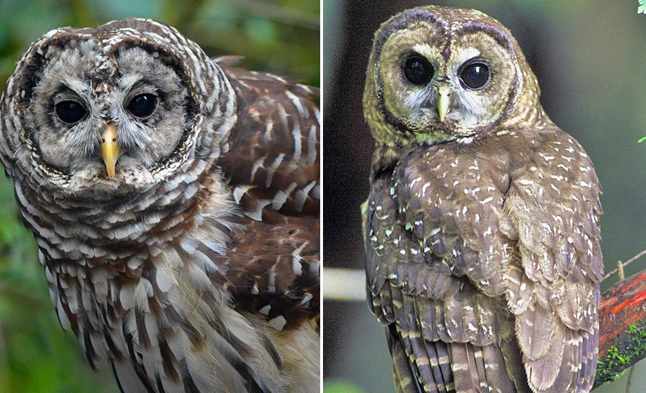 barred owl and northern spotted owl
