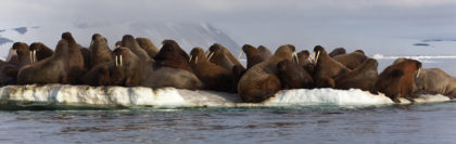 Walrus colony in Arctic