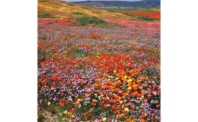 California poppy and bird's-eye gilia