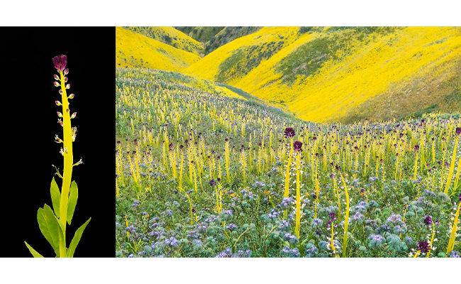 """2017 """"Super Bloom"""" wildflowers"""