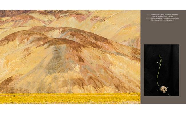 milkweed in death valley