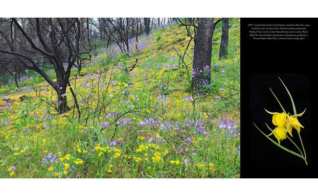 wildlfire globe lilies lake county